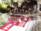 كلاب يورك شاير