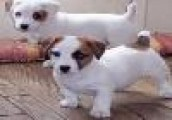 Beautiful Jack Russell Terrier Puppies to Go
