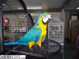 Talkative Pair Of Blue & Gold Macaw Parrots Avalable