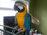 Congo Quality Blue & Gold Macaw Parrots Available