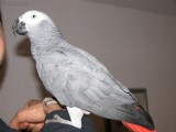 Beautiful African Grey parrot for re-homing.