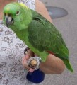 Cute And Charmind Naped Amazone Parrots Available For Sale