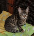 Savanna Kittens Available