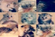 قطط شرازي للبيع عمر 3 اسابيع