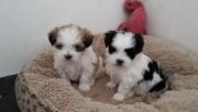 White shih tzu Puppies