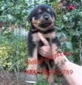 كلب روت وايلر الشرس للبيع