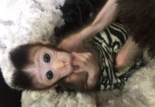 Male and female Marmoset and Capuchin monkeys for your family.
