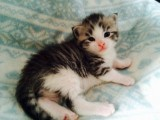 Charming Maine Coon Kitten for Adoption
