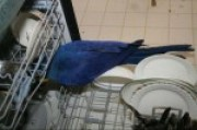 High quality amazing talkative breeds Hyacinth macaw, Blue and G