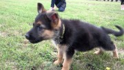 German Shepherd Puppies Available For New Homes01
