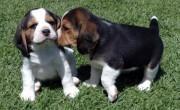 Beautiful Beagle Puppies for adoption,00