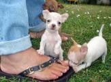 Home trained chihuahua puppies ready for re-homing22