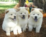 Well trained chow chow puppies for sale