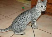 Male and female Savannah Kittens for Adoption