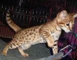 Registered Savannah kittens Available for sale