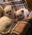 Blue Male and Female Ragdoll Kittens Ready To GO