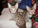Astunning F1 and F2 Savannah Kittens Available