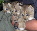 Adorableserval,savannah,lynx,caracal,ocelot,kittens for sale,