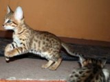 3 Lovely Savanah kittens for re-homing..for sale
