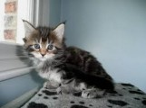 Pedigree male and female Maine Coon Kittens for sale