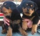 Beautiful male and female Rottweiler Puppies ready  for sale