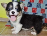 Cute and Adorable pembroke welsh corgi Puppies for Sale