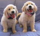 CUTE and Quality Golden Retriever  Puppies available For best ho