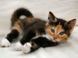 Cute and Adorable Maine Coon Kittens for Sale