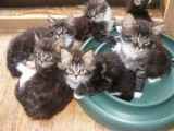 very loving Maine Coon Kittens  For sale