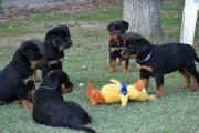Well trained Rottweiler puppies for new homes