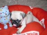 Home Raised Pug Puppies for Adoption