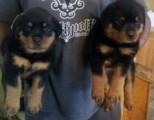 AKC Reg German Rottweiler Puppies AKC Reg German Rottweiler Pupp