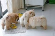 HEALTHY CHOW CHOW PUPPIES  HEALTHY CHOW CHOW PUPPIES