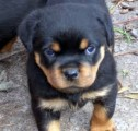 Rottweiler puppies Well trained for new homes