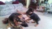 Quality German Shepherd puppies male and female