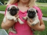 Pug Puppies for Sale Pug Puppies for Sale