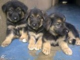 Friendly German Sherpard puppies males and females