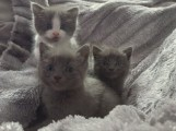 Cute Russian Blue Kitten for Caring Home