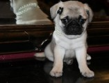 adorable male and female pug puppies available for new homes
