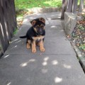 Adorable german shepherd puppies for adoption