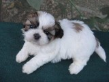 AKC Gorgeous Shih Tzu Puppies
