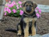 Quality German Shepherd puppies for sale.   Quality German Sheph