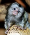 We have several baby Common Marmosets available for immediate pi