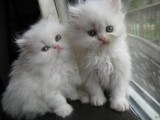 Two White Persian Kittens Two White Persian Kittens