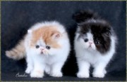Pure breed Persian kitten - 100% Pure breed Persian kitten - 100