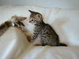 Pair of Savannah Kittens For Sale