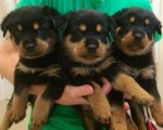 Rottweiler Puppies Available To Loving Caring Home(for sale)