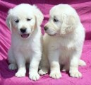 Golden Retriever Puppies for sale 12 weeks old