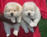 Adorable Male and Female Chow Chow ready to go home