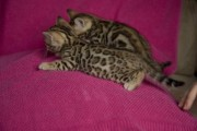 Cutest Bengal Kitten Available For rehoming 11